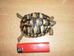 Mala kornjacica.jpg