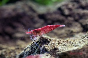 Red Cherry Shrimp