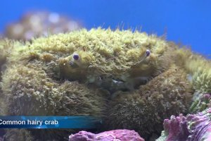 Common hairy crab