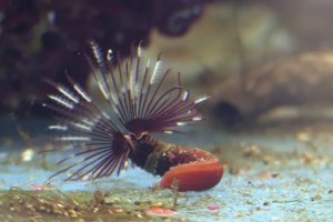 Feather duster worm - Sabellastarte spectabilis
