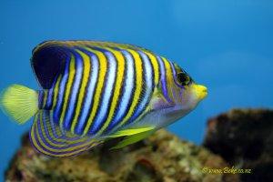 Regal angelfish - Pygoplites diacanthus