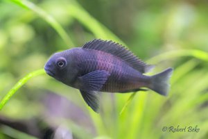 "Tropheus sp. black ""Bulu Point"""