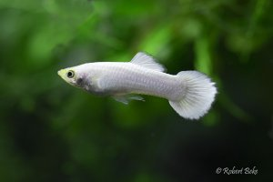 White Platinum Guppy