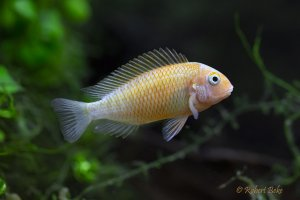 Tropheus sp.  Golden Firefox