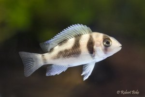 "Cyphotilapia frontosa  ""Black Widow"""