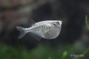 Spotted Hatchetfish