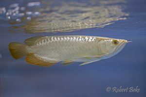 Asian arowana - Scleropages formosus