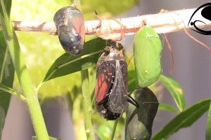 Monarch Butterfly Emerges from Chrysalis