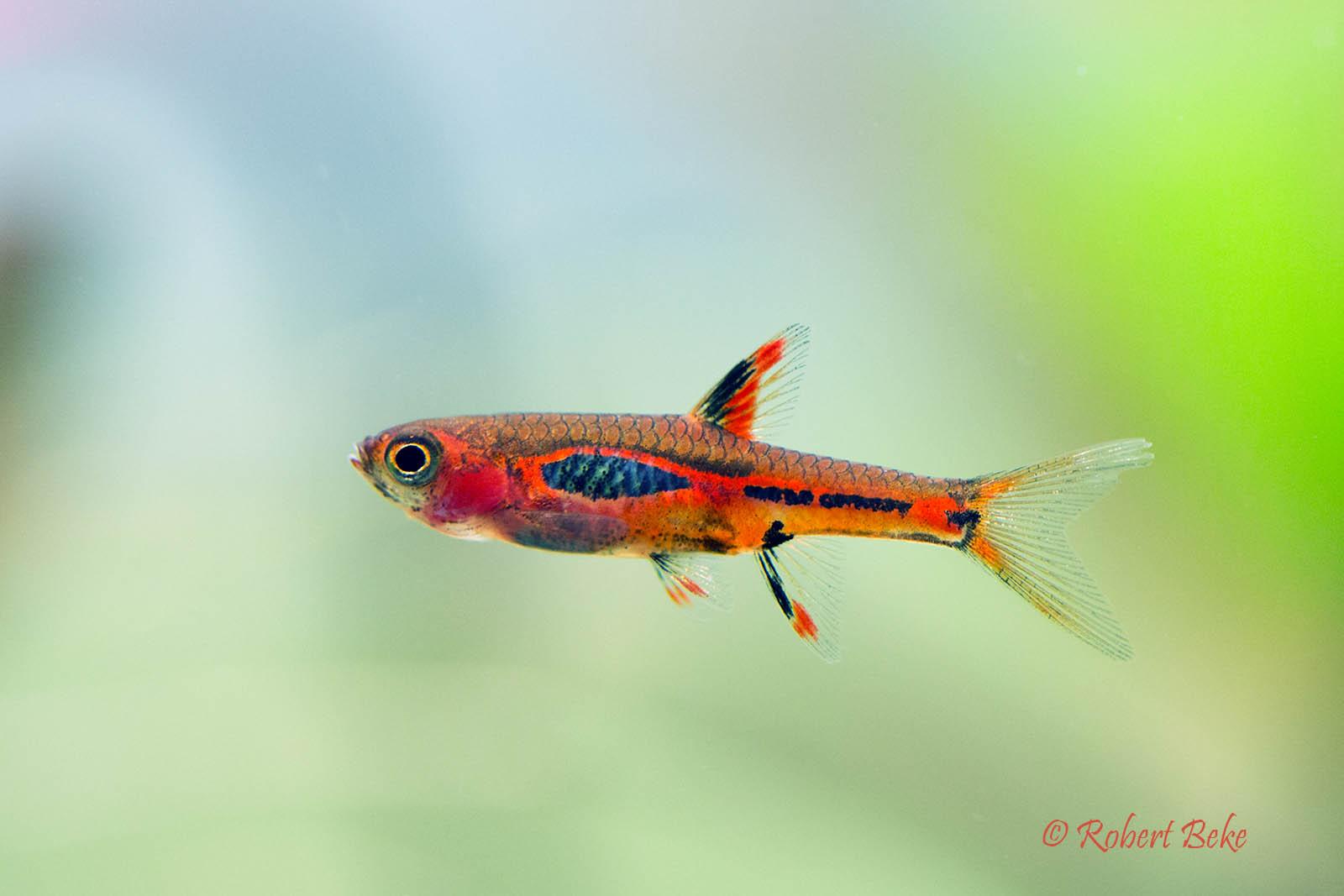 chili rasbora fish - 700×700