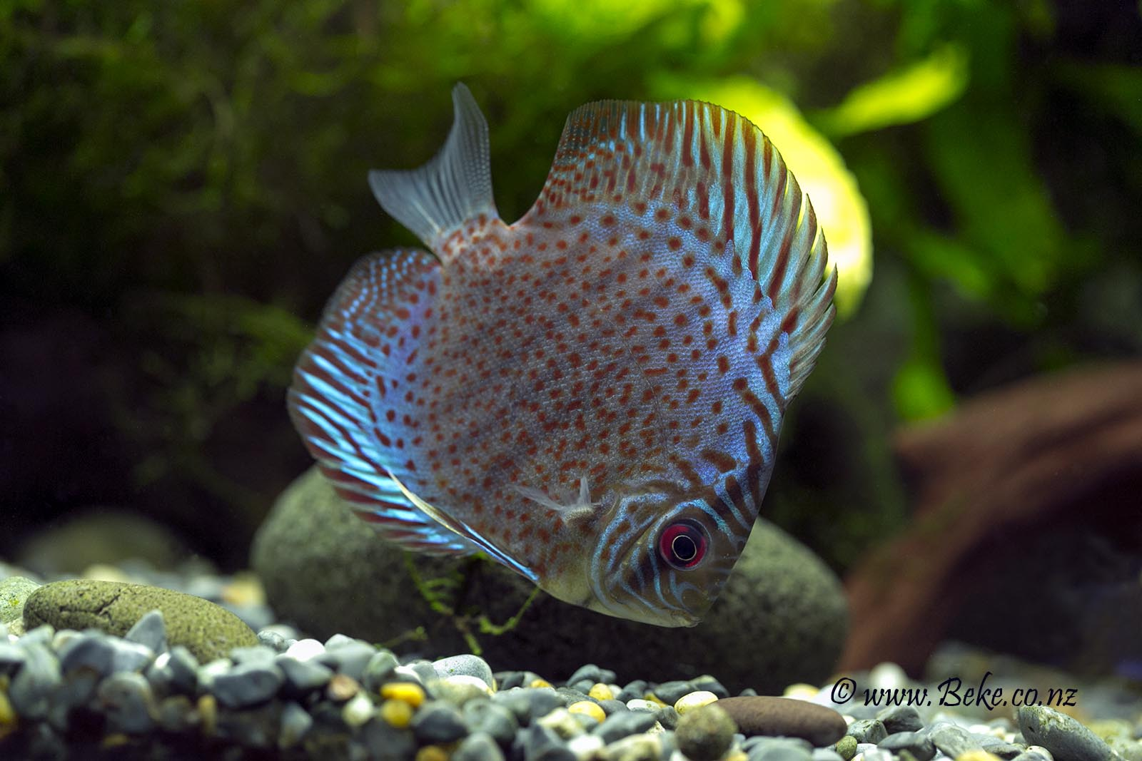Discus fish for sale nz tropical fish discus fish 2017 for Live discus fish for sale