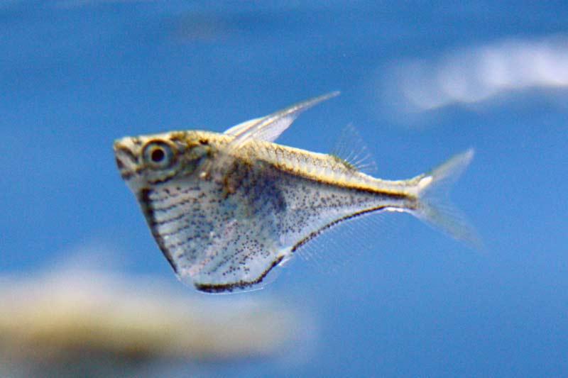 Freshwater Hatchetfish School Blackwing hatchetfish