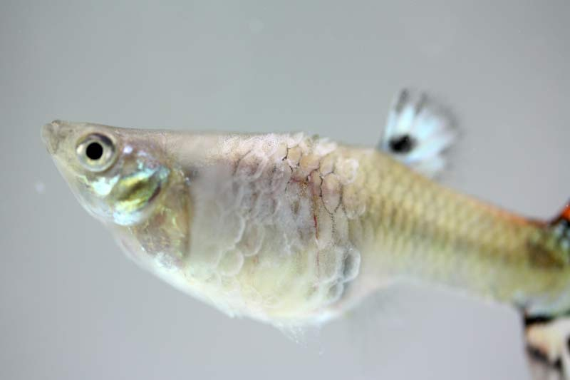 guppy fish diseases Common Guppy Fish Diseases Pictures